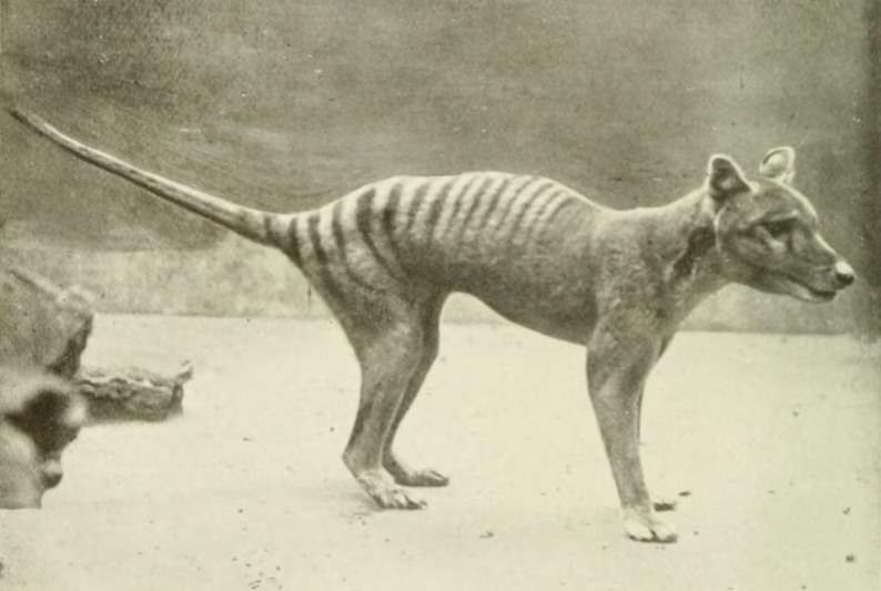 cloning the tasmanian tiger During his time as director of the australian museum, he was the initiator of attempts to clone the thylacinus cynocephalus, the tasmanian tiger.