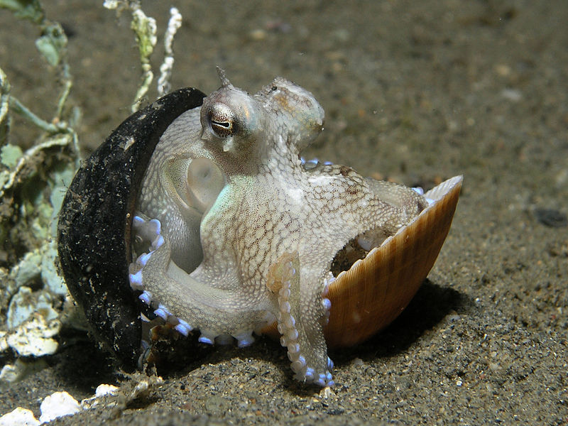 Octopus using shells as shelter. By Nhobgood Nick Hobgood (Own work) [CC-BY-SA-3.0 (http://creativecommons.org/licenses/by-sa/3.0) or GFDL (http://www.gnu.org/copyleft/fdl.html)], via Wikimedia Commons