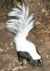 Skunkhooded
