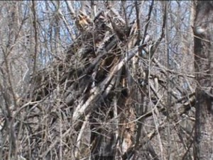 Do Bigfoots Nest? Man Walks Us Through 'Sasquatch Shelter'