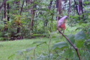 Purported gnome walks on a pathway, unaware of the trail camera installed on a tree. Credit: Keith Sniadach