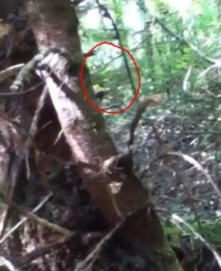 Alleged Bigfoot creature makes use of invisibility cloak to hide from the camera