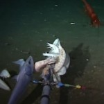 New Species of Snailfish with 'Cartoon Dog' Face Discovered in the Mariana Trench