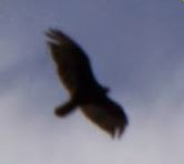 A large bird is seen over Lake Huron near the town of Spanish, Ontario. Credit: Mark/The Crypto Crew