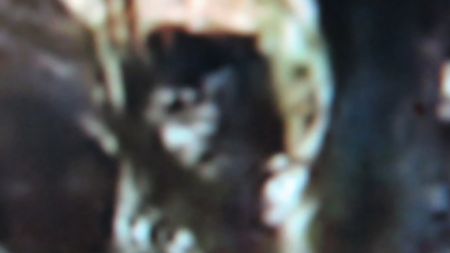 """This """"juvenile Bigfoot"""" stares at Camacho's camera from the safety of a tree. Credit: Dave/Camacho/YouTube"""