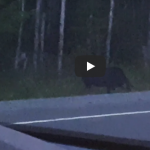 Controversial Video Shows 'Humanoid Stalking' Moose in Canada